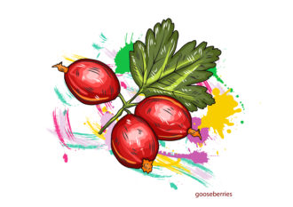 vector gooseberries with colorful splashes Vector Illustrations old