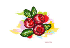 vector cranberries with colorful splashes Vector Illustrations old